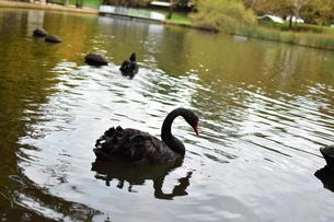 州のシンボル黒鳥の写真素材 [FYI01251693]