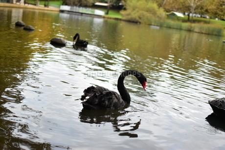 州のシンボル黒鳥の写真素材 [FYI01251694]