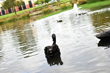 州のシンボル黒鳥の写真素材 [FYI01251695]