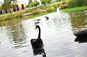 州のシンボル黒鳥の写真素材 [FYI01251696]
