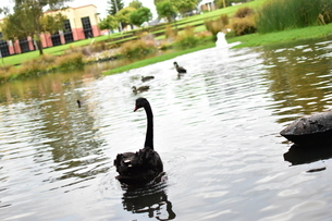 州のシンボル黒鳥の写真素材 [FYI01251697]