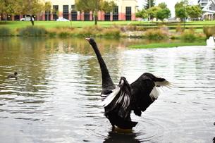 州のシンボル黒鳥の写真素材 [FYI01251699]