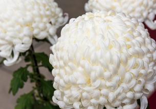 菊の写真素材 [FYI01251795]