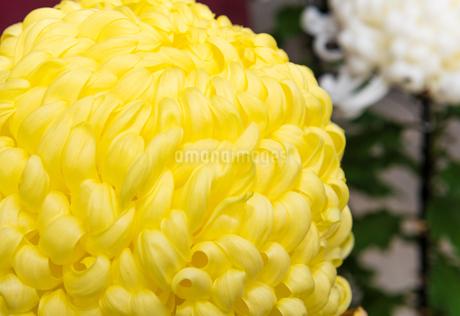 菊の写真素材 [FYI01251797]