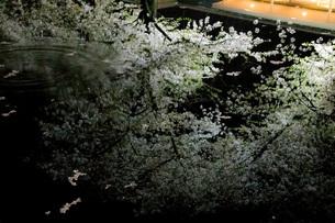水鏡夜桜の写真素材 [FYI01251798]