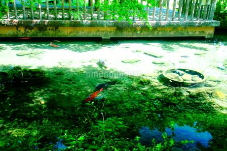 透明度高い池を泳ぐ鯉の写真素材 [FYI01251801]