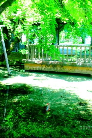 透明度高い池を泳ぐ鯉の写真素材 [FYI01251802]