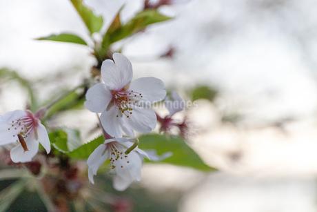 桜の写真素材 [FYI01251827]