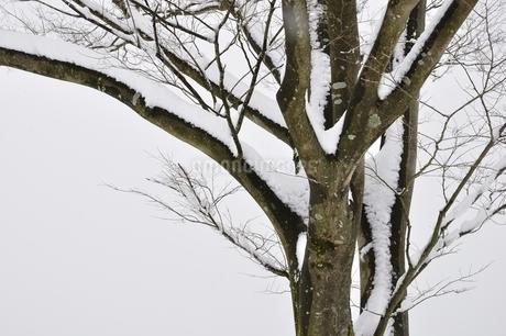 雪の木の写真素材 [FYI01251934]