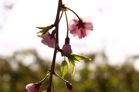 透き通った桜の花びらと夕焼けの写真素材 [FYI01252114]