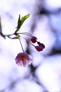 透き通った桜の花びらと蕾の写真素材 [FYI01252115]