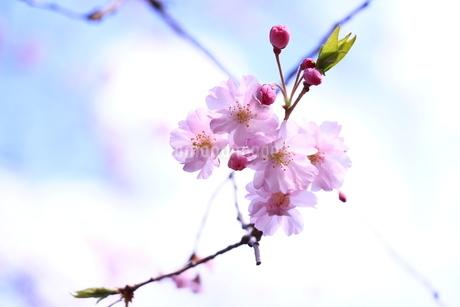 青空と透き通った桜の花びらの写真素材 [FYI01252116]