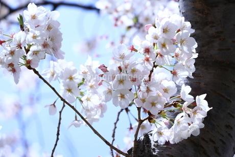 白い桜と幹と青空の写真素材 [FYI01252117]