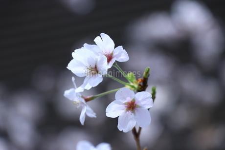 一輪の白い桜の写真素材 [FYI01252118]