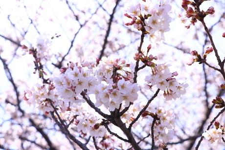 満開の桜と天に伸びる枝の写真素材 [FYI01252119]