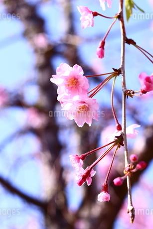 花ひらいた桜とその蕾の写真素材 [FYI01252120]