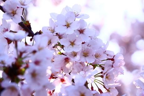太陽の光を受けて光る桜の写真素材 [FYI01252121]