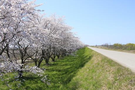 土手の桜並木の写真素材 [FYI01252139]