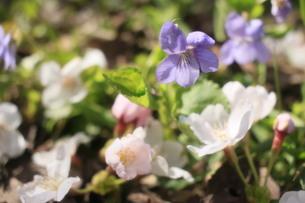 落花とスミレの饗宴の写真素材 [FYI01252143]