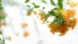 垂れ下がる花の写真素材 [FYI01252160]