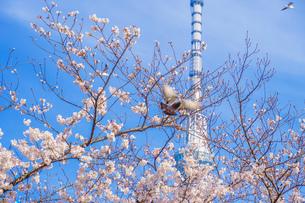 スカイツリーと桜とハトの写真素材 [FYI01252220]