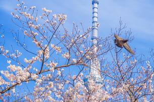 スカイツリーと桜とハトの写真素材 [FYI01252221]