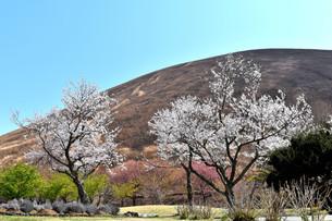 伊豆小室山と桜の写真素材 [FYI01252265]