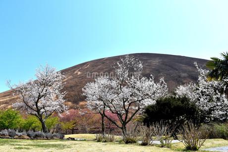 伊豆小室山と桜の写真素材 [FYI01252266]