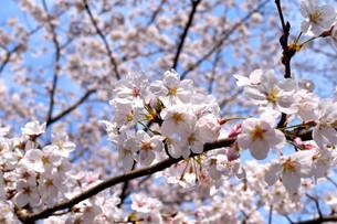 伊豆小室山と桜の写真素材 [FYI01252267]
