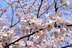 伊豆小室山と桜の写真素材 [FYI01252268]