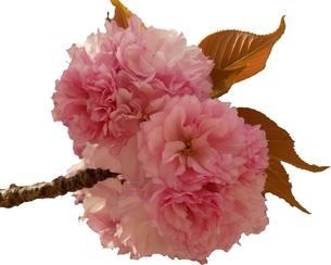 八重桜 「関山」 切り抜き Cherry Blossom 「Sekiyama」「kanzan」 cutout の写真素材 [FYI01252389]