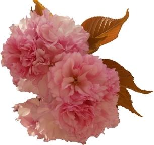 八重桜 「関山」 切り抜き Cherry Blossom 「Sekiyama」「kanzan」 cutoutの写真素材 [FYI01252391]