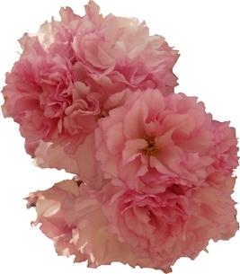 八重桜 「関山」 切り抜き Cherry Blossom 「Sekiyama」「kanzan」 cutout の写真素材 [FYI01252392]