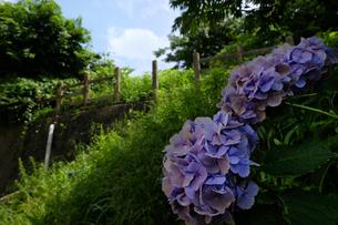 すみれ色のアジサイと草の生い茂った公園の写真素材 [FYI01252414]