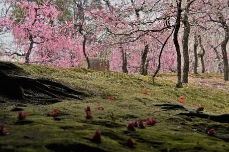 枝垂れ梅の写真素材 [FYI01252446]