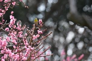 梅とメジロの写真素材 [FYI01252455]