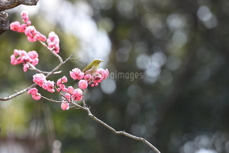メジロと梅の写真素材 [FYI01252459]