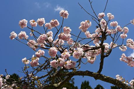 桜の写真素材 [FYI01252468]