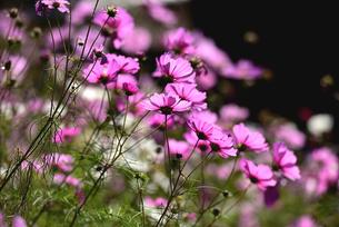 秋桜の写真素材 [FYI01252475]