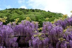 藤の花の写真素材 [FYI01252495]