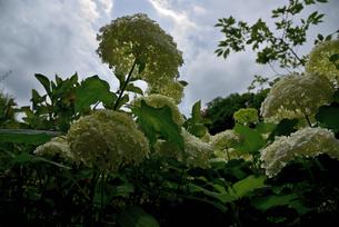 紫陽花の写真素材 [FYI01252502]