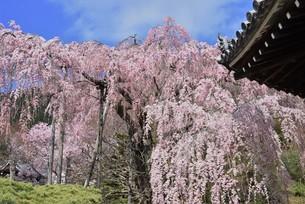 枝垂れ桜の写真素材 [FYI01252515]