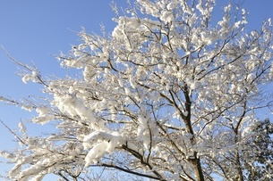 雪化粧した樹木の写真素材 [FYI01252525]