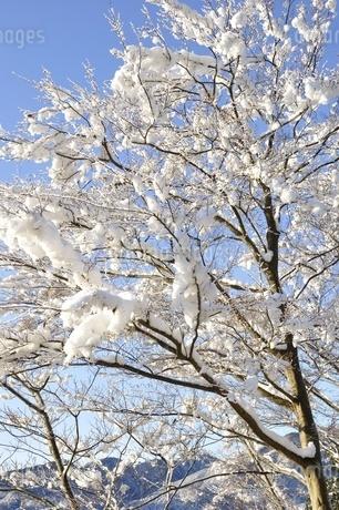 雪化粧した樹木の写真素材 [FYI01252527]