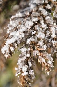 凍てつく杉の写真素材 [FYI01252551]