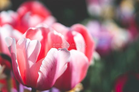 Beautiful spring tulipsの写真素材 [FYI01252585]