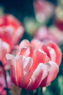 Beautiful spring tulipsの写真素材 [FYI01252586]