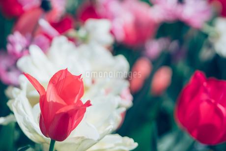 Beautiful spring tulipsの写真素材 [FYI01252587]