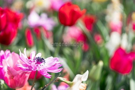 Beautiful spring tulipsの写真素材 [FYI01252588]