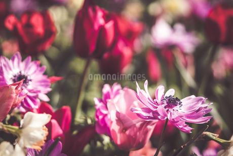 Beautiful spring tulipsの写真素材 [FYI01252589]